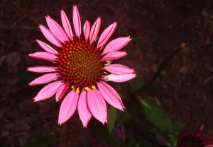 pixabay.com:sparkielyle - echinacea